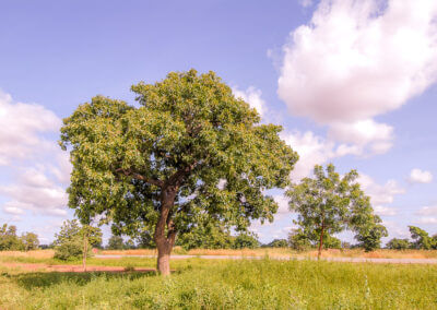 Sheanuss oder Karitébaum